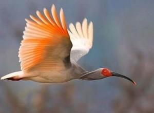 Toki 特別天然記念物の朱鷺、佐渡に生息